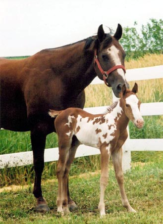 journeysbabiesaphastudcolt1.jpg